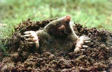 Кроты уничтожают корневую систему растений