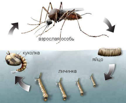 Цикл развития комара: убивая не только взрослых особей, но и личинок, Вы надежно защищаете себя от кровососов!